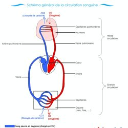 la circulation sanguine schema