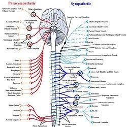 nervous system pdf
